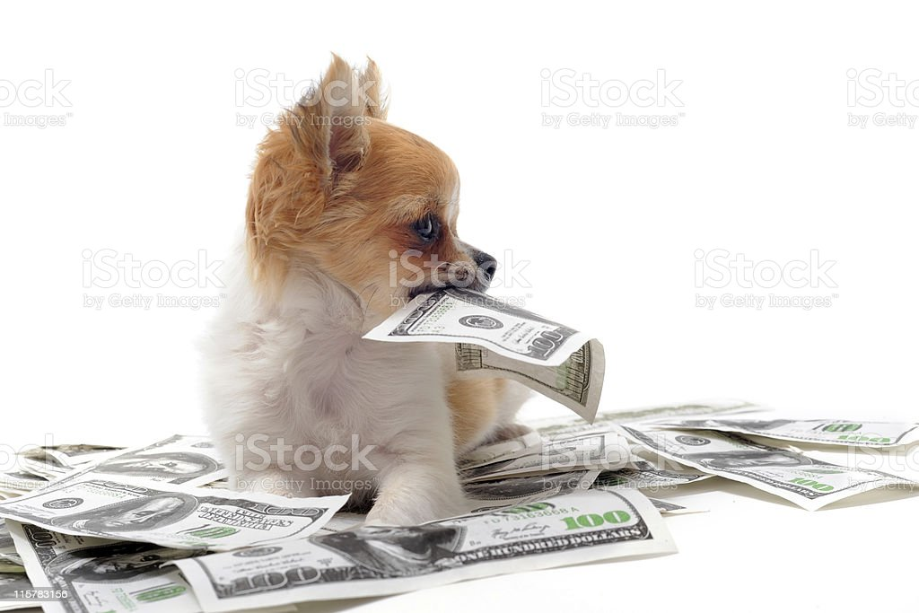 Baller Chihuahua surrounded with $100 bills stock photo