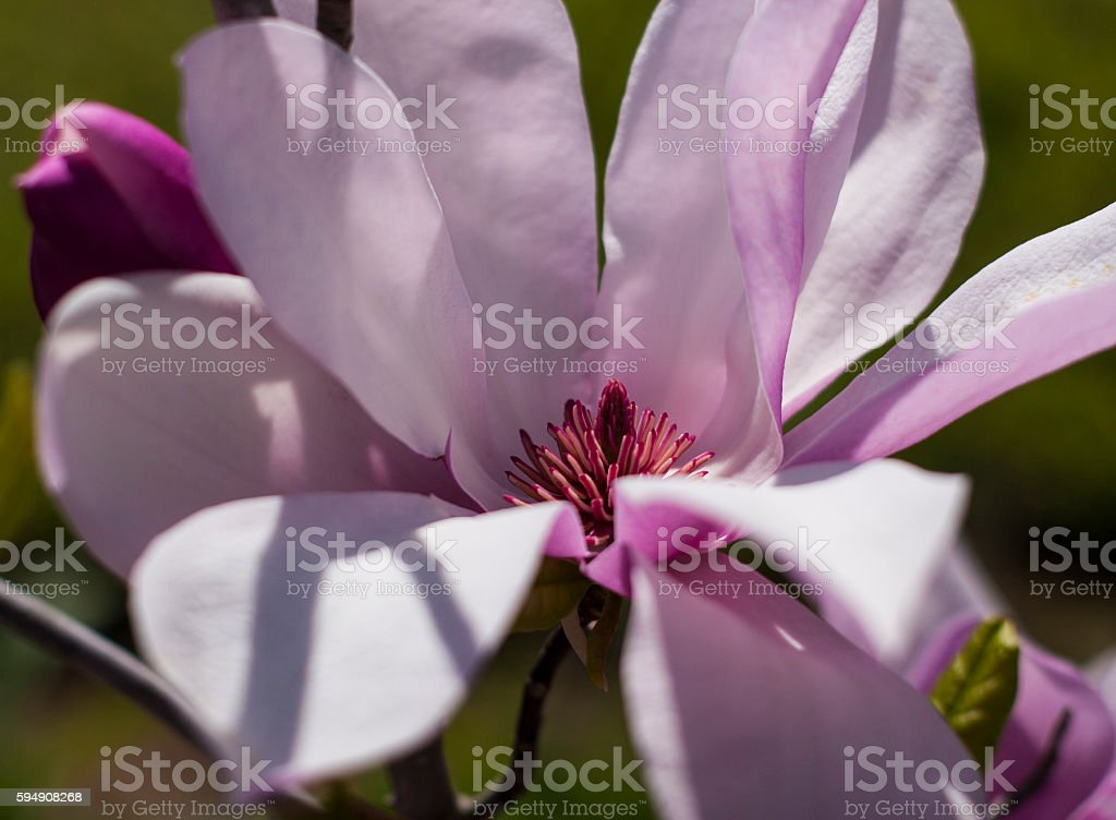 'Ballerina' Magnolia stock photo