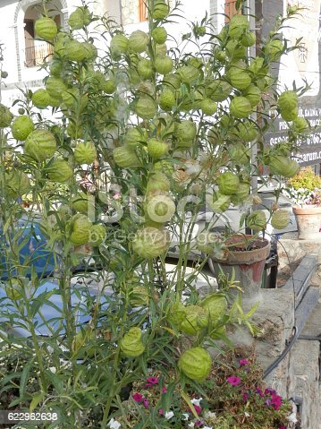 The balloon-like seedpods of Gomphocarpus physocarpus also known as Asclepias physocarpa and the common name Balloon cotton bush