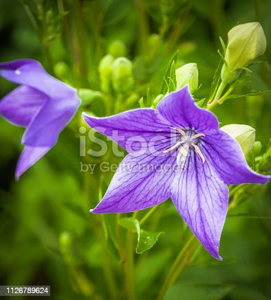 Balloon Flower (Platycodon grandiflorus) - a species of herbaceous flowering perennial plant of the family Campanulaceae