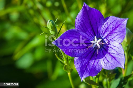 A purple balloon flower grows in a Cape Cod garden in mid July
