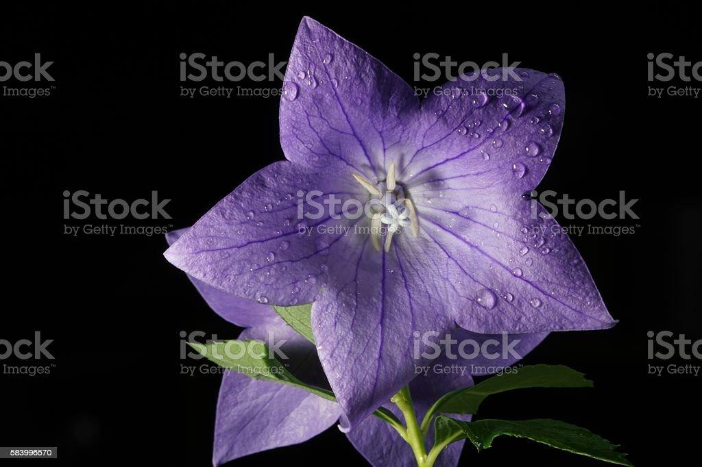 Balloon Flower (Platycodon Grandiflorus Blue) stock photo