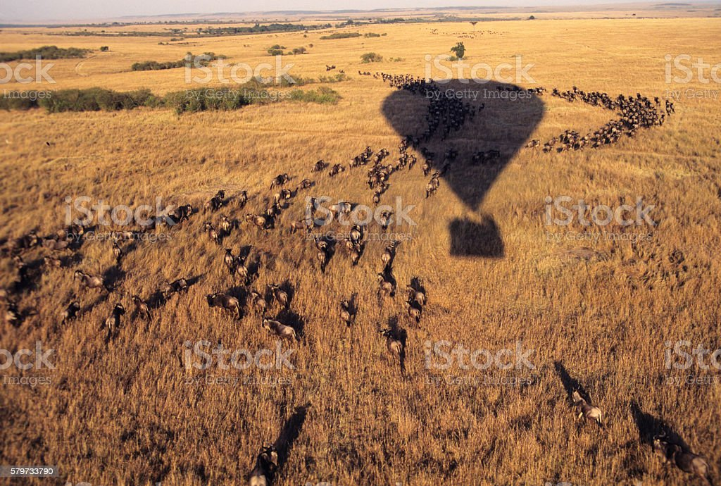 Balloon flying over a herd of wildbeasts, Masai Mara, Kenya stock photo