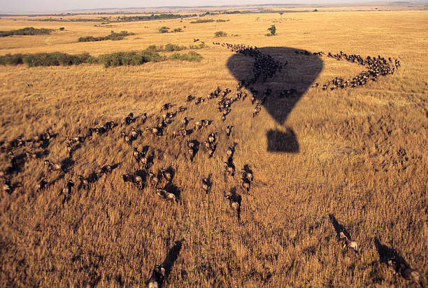 Balloon flying over a herd of wildbeasts, Masai Mara, Kenya Hot air baloon flying over a herd of wildbeasts during the annual migration, Masai Mara Game Reserve, Kenya masai mara national reserve stock pictures, royalty-free photos & images