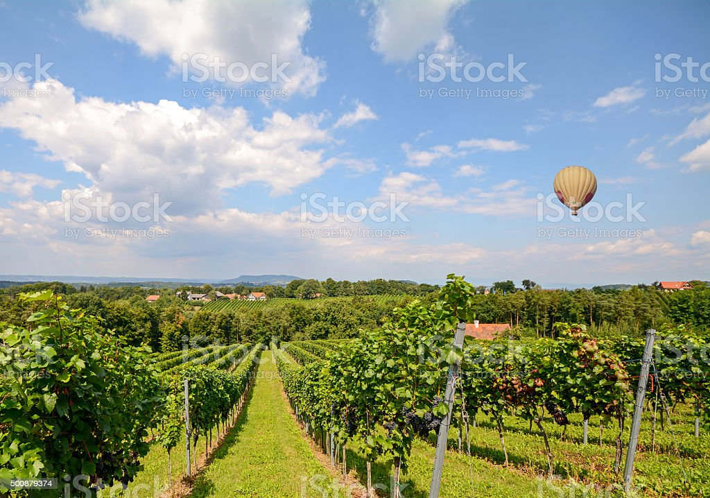 Balloon flying over wine grapes in the vineyard before harvest stock photo