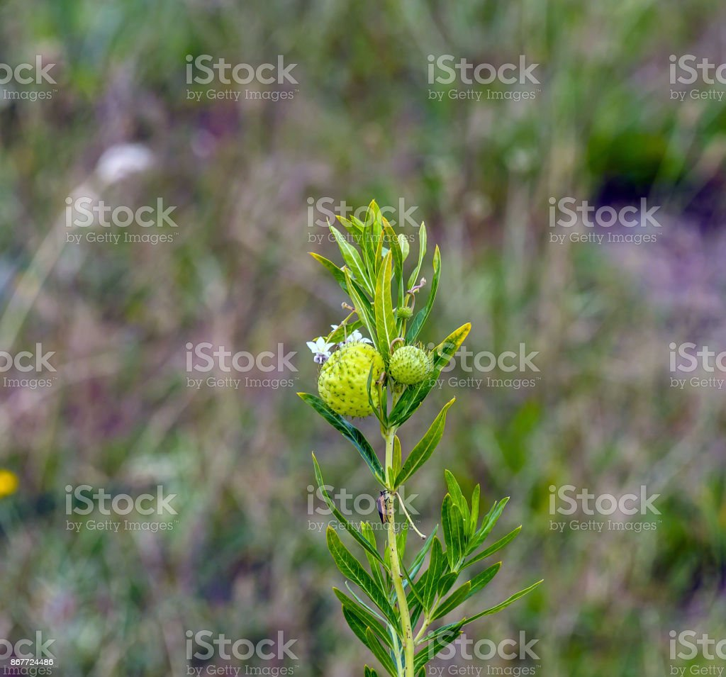 Balloon plant milkweed, (Gomphocarpus physocarpus), with two balloons and small white flowers, with green background.  South Africa stock photo