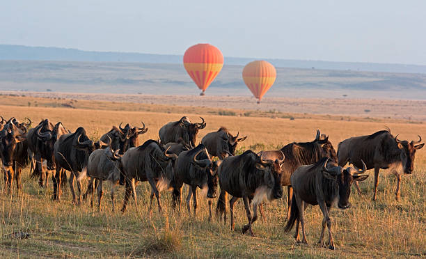 Balloon safari Classic Kenya safari landscape with wildebeest herd foreground and hot air balloon backdrop – Masai Mara, Kenya masai mara national reserve stock pictures, royalty-free photos & images