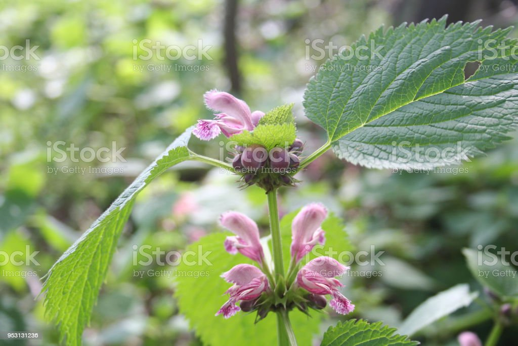Balm leaved archangel with pink flowers stock photo