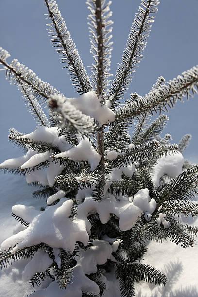Balsam fir tree (Abies balsamea) im winter sonnigen Tag – Foto