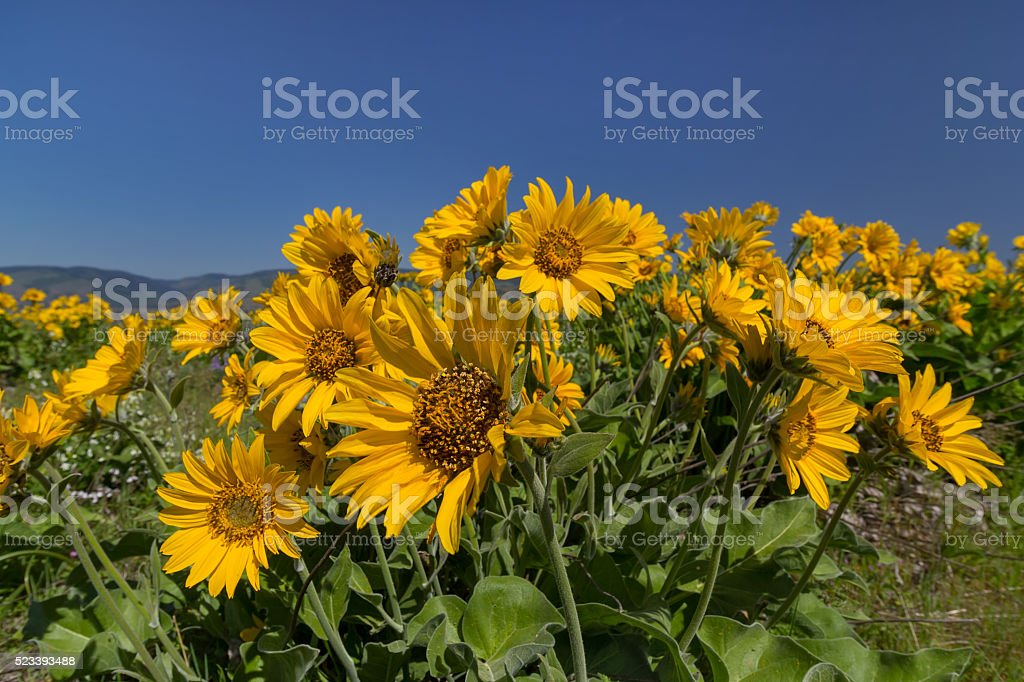 Balsamroot Blooming in Spring stock photo