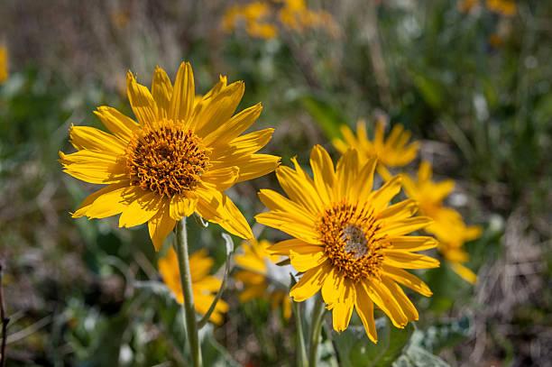 Balsamroot flowers closeup stock photo