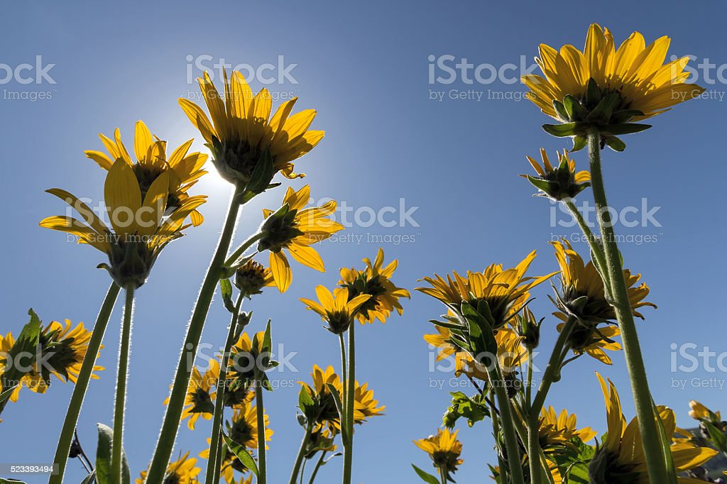 Balsamroot Wildflowers Under the Sun stock photo