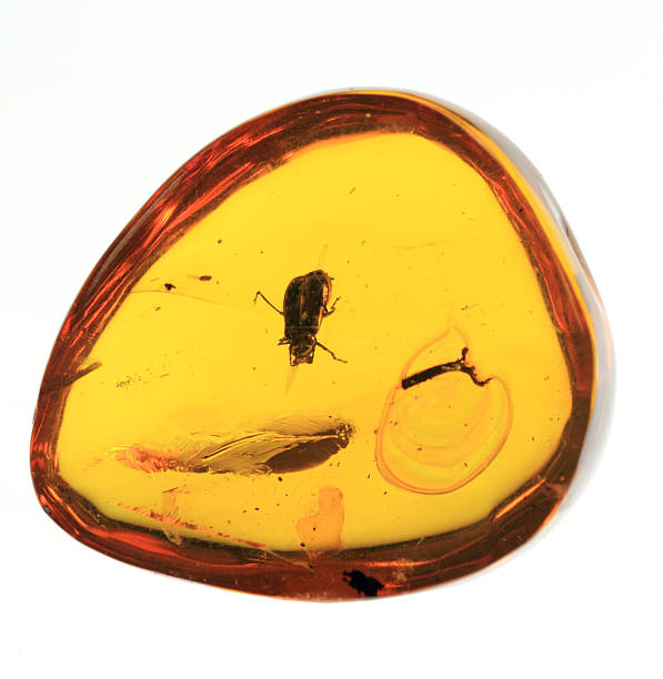 Baltic amber thoracica - Photo