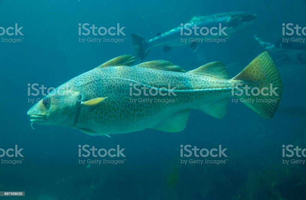 Pez de bacalao del Báltico en Parque del mar Atlántico en Alesund, Noruega - foto de stock