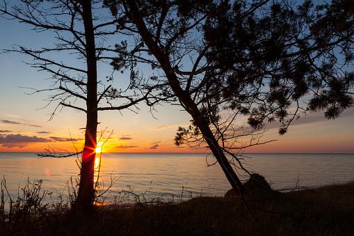 Baltic pine trees