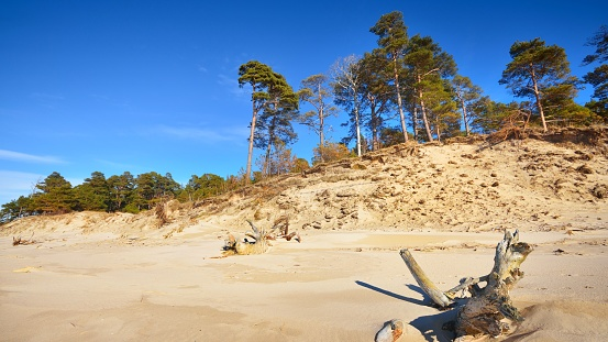 Baltic sand dunes with pine trees. Classical Baltic beach landscape.