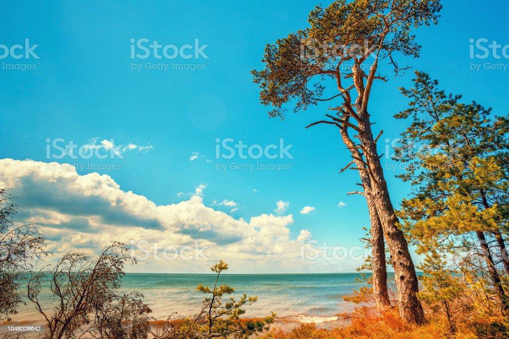 Ostseeküste. Pinienwald am Strand im Sommer. Schöne Natur. Wildnis – Foto