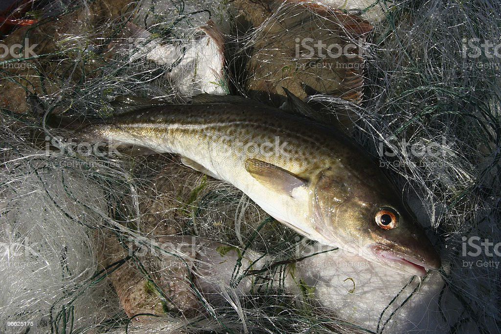 Baltic sea cod. stock photo