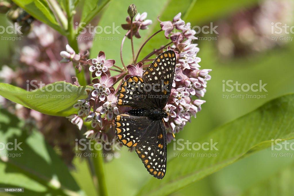 Baltimore Checkerspot Nectaring on Milkweed stock photo