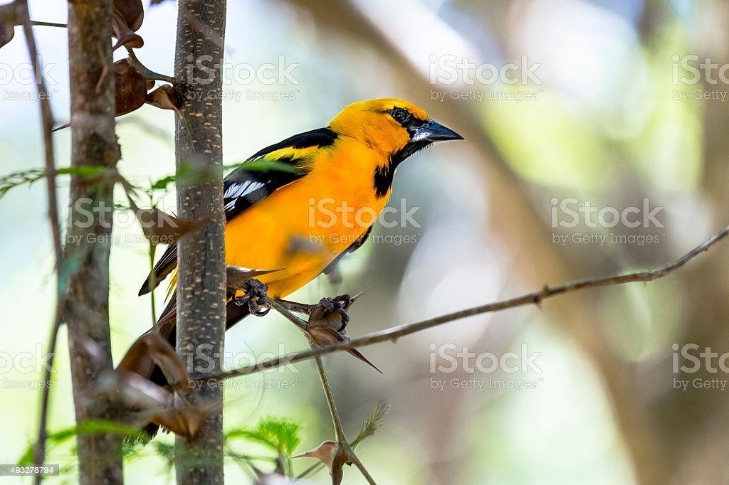 Baltimore oriole during the Wintering range stock photo