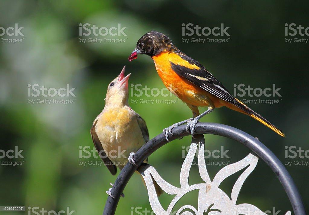Baltimore oriole feeding fledgling stock photo