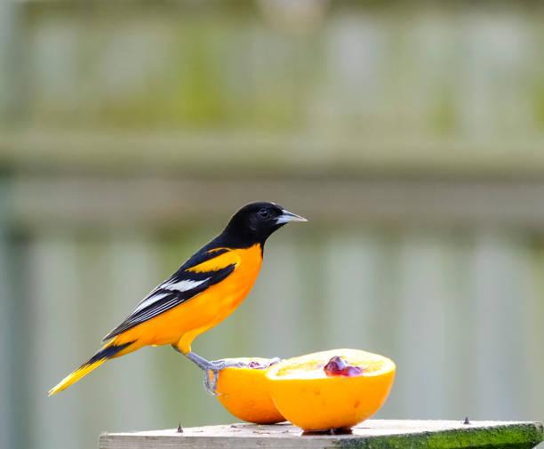Baltimore Oriole Feeding On An Orange stock photo