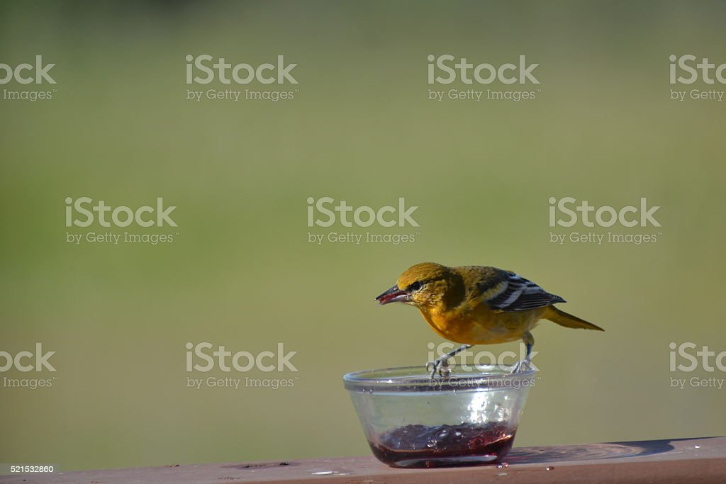 Baltimore Oriole Female 2a stock photo