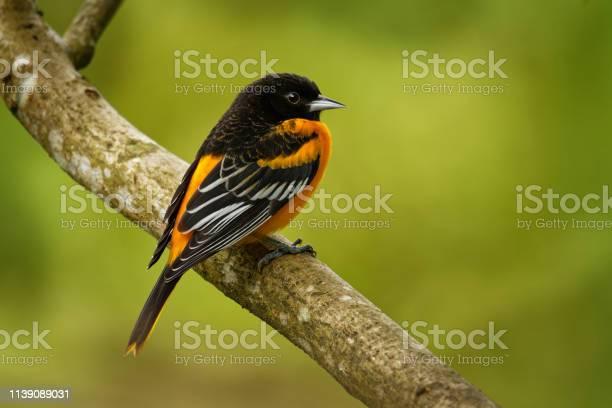 Baltimore oriole icterus galbula is a small icterid blackbird common picture id1139089031?b=1&k=6&m=1139089031&s=612x612&h=8 rstjvycjoyqj3l0vqi0pe2bc74b9cxzjgrkv7ekxu=