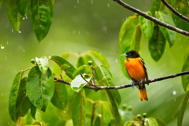 Baltimore Oriole, Icterus galbula on the branch in the rain. Wildlife in Costa Rica. stock photo