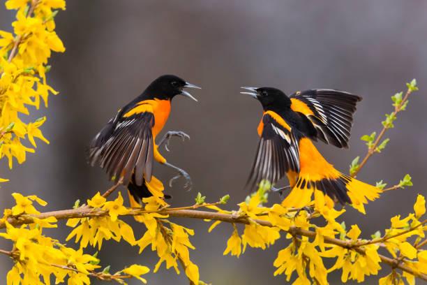 Baltimore oriole icterus galbula two male birds fighting picture id1144653112?b=1&k=6&m=1144653112&s=612x612&w=0&h=atpbbc a qijnkbyh 2rfyo14ryjxr arprl8mbjqce=