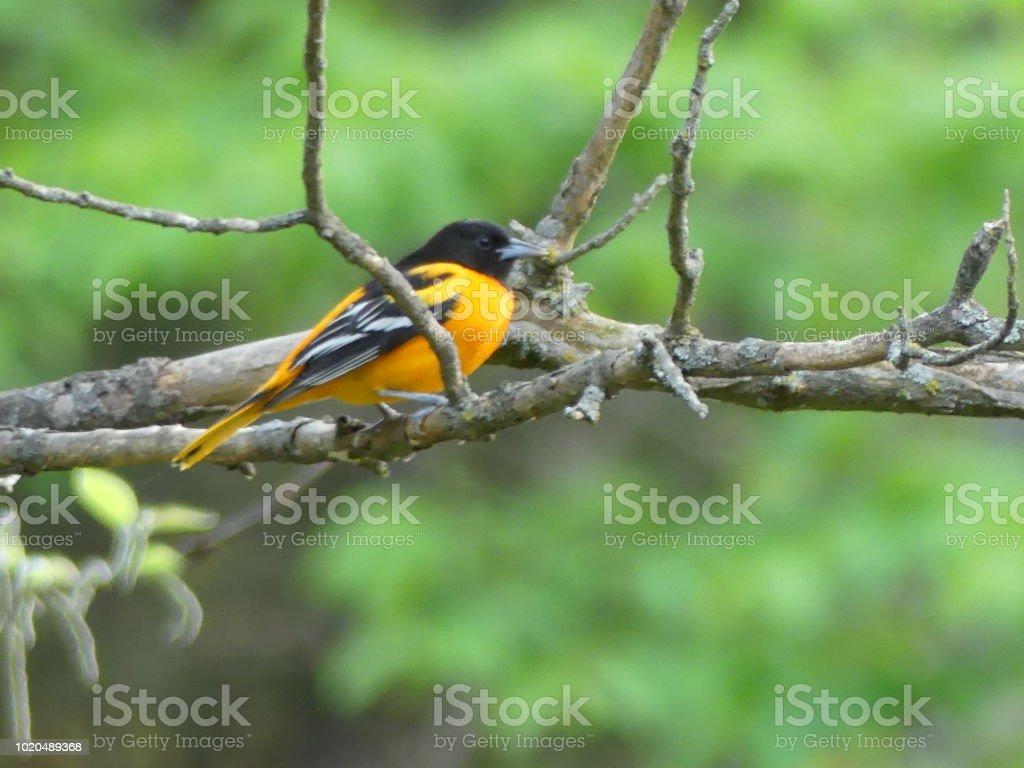 Baltimore oriole in a tree stock photo