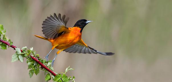 Baltimore Oriole taking off. Male bird in flight, Icterus galbula. Motion blur.