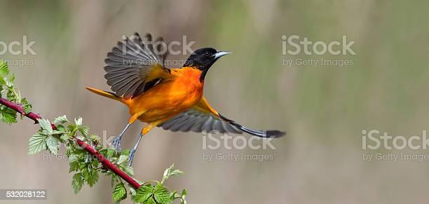 Baltimore oriole in flight male bird icterus galbula picture id532028122?b=1&k=6&m=532028122&s=612x612&h=iqc7ulaimi6mcmp9r8pxw8moc2jw2l1e zux2 cefki=