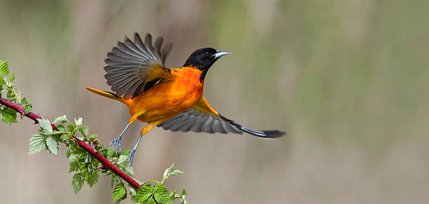 Baltimore Oriole in flight, male bird, Icterus galbula Baltimore Oriole taking off. Male bird in flight, Icterus galbula. Motion blur. songbird stock pictures, royalty-free photos & images