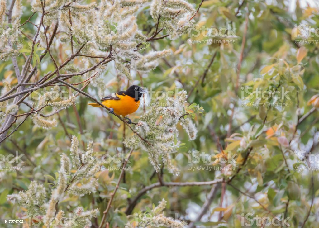 Baltimore Oriole in willow tree flowers stock photo