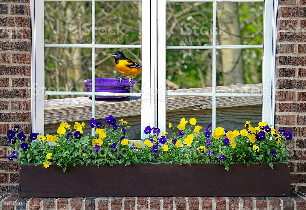 Baltimore oriole in window stock photo