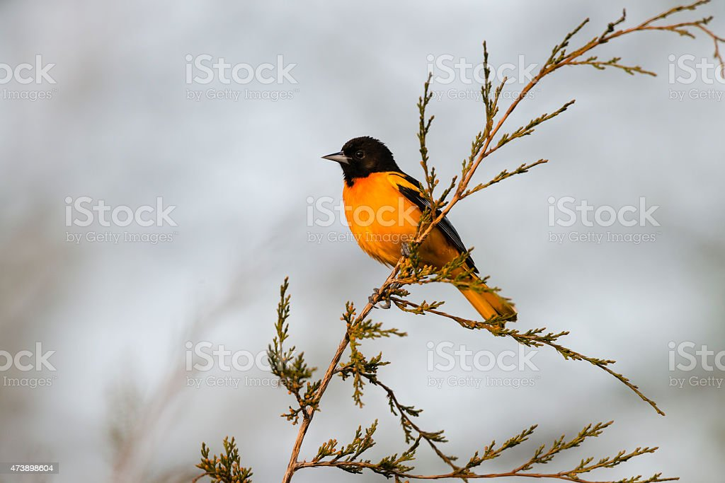 Baltimore Oriole, male bird in springtime stock photo