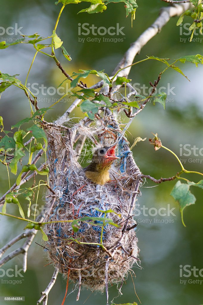 Baltimore Oriole nestling stock photo