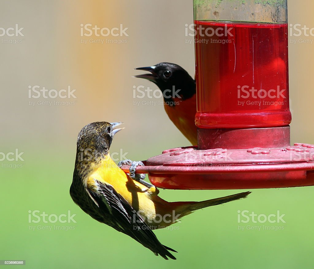 Baltimore Oriole Pair at the Hummingbird Feeder stock photo