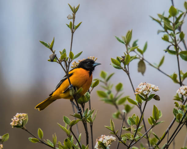 Baltimore Oriole perched in a flowering bush on its spring migration stock photo
