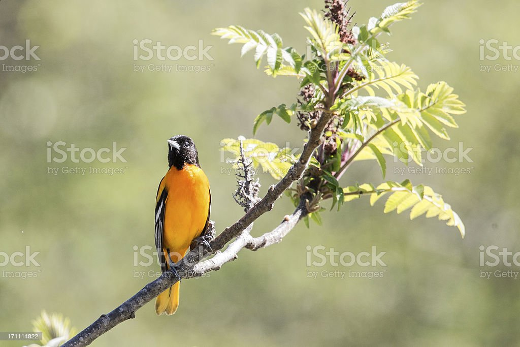Baltimore Oriole perched on a branch stock photo