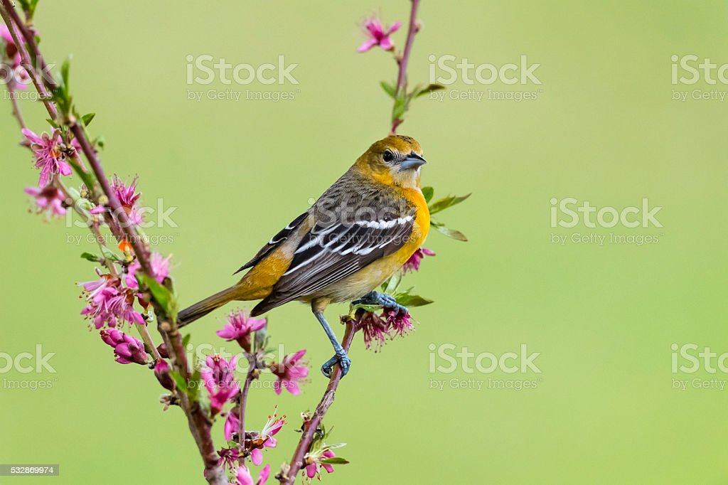 Baltimore Oriole perching, female bird in springtime, Icterus galbula stock photo