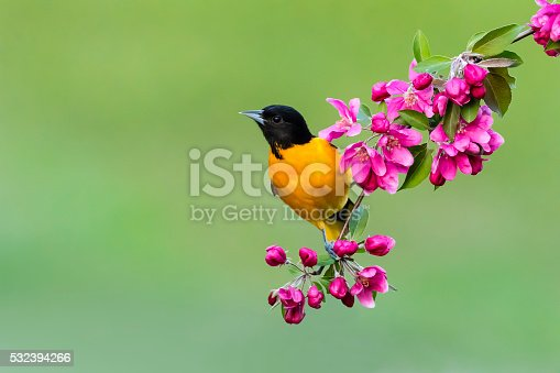 Baltimore Oriole perching on a blooming branch, male bird in springtime, Icterus galbula. Apple blossom.