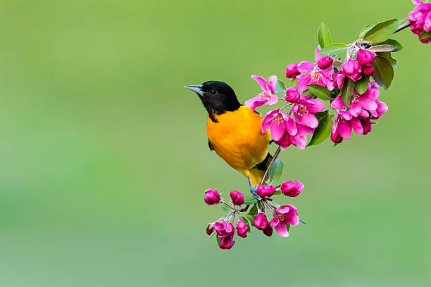 Baltimore Oriole perching, male bird in springtime, Icterus galbula stock photo