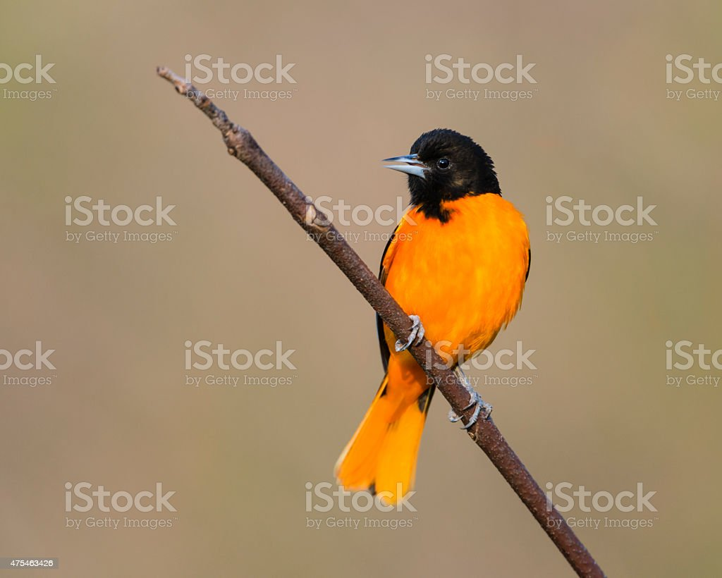 Baltimore Oriole perching, male bird in springtime stock photo
