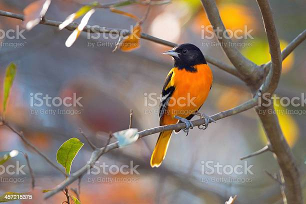 Photo of Baltimore Oriole Perching