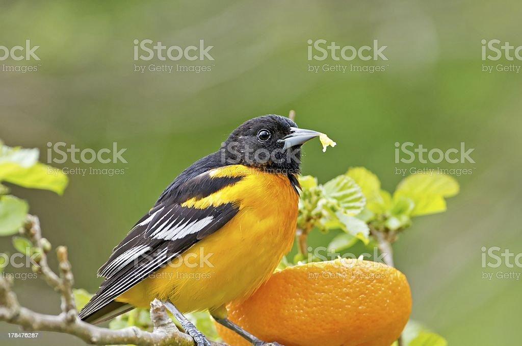 Baltimore Oriole stock photo