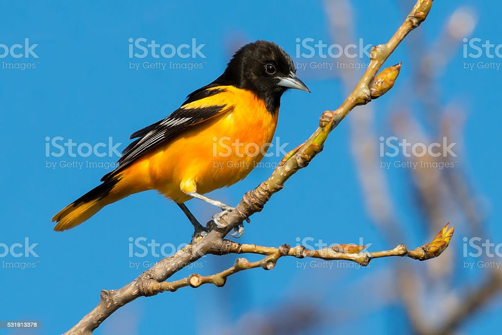 Baltimore Oriole royalty-free stock photo