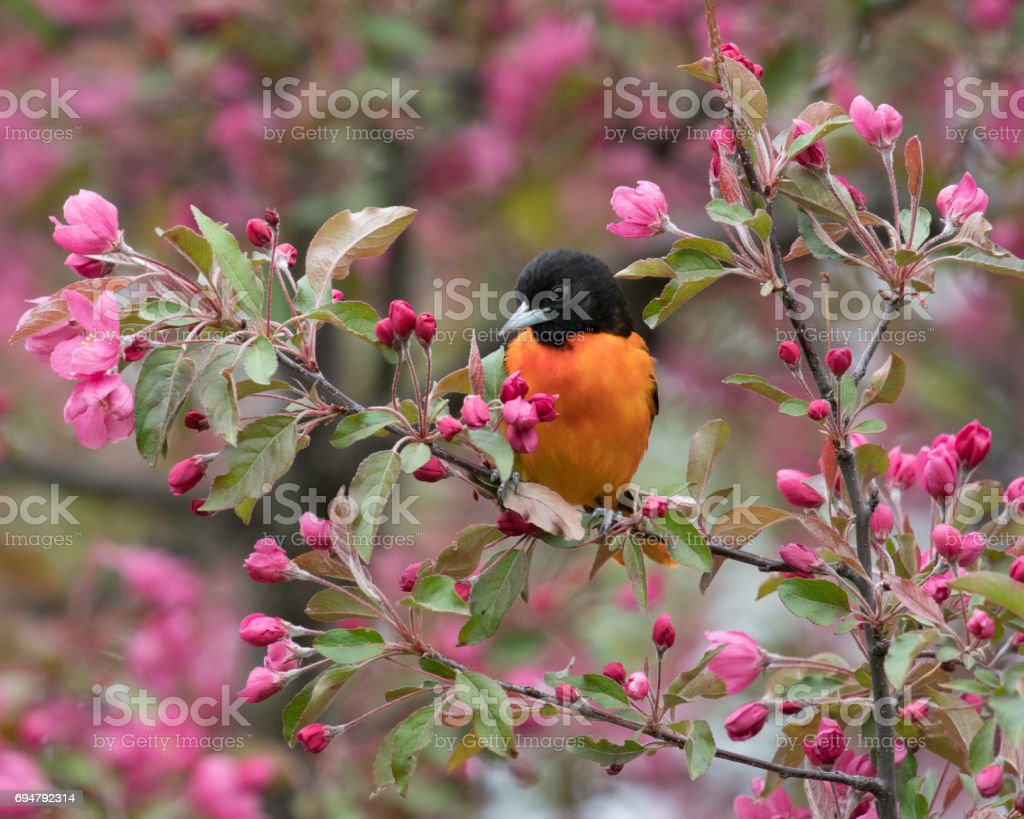 Baltimore Orioles (Icterus galbula) stock photo