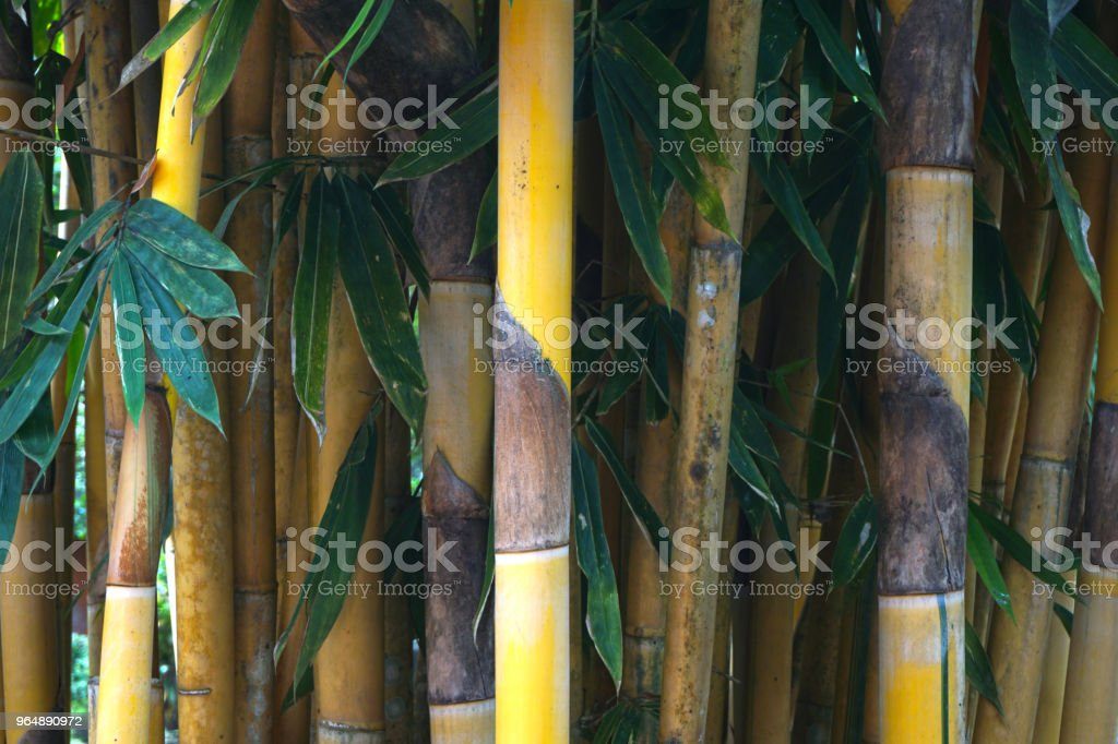 Bamboo, bamboo leaves Build houses, appliances and food. royalty-free stock photo